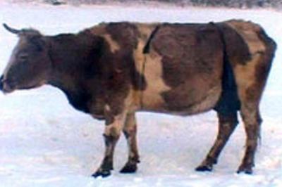 Лифчик для якутской коровы