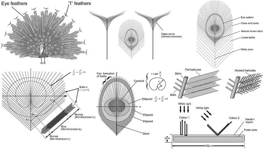 Конструкция хвоста павлина